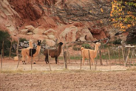 Montagne aux sept couleurs Lamas