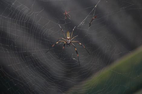 Araignée du Costa Rica