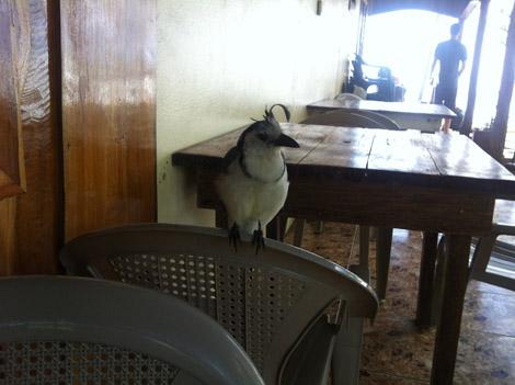 oiseau du Costa Rica