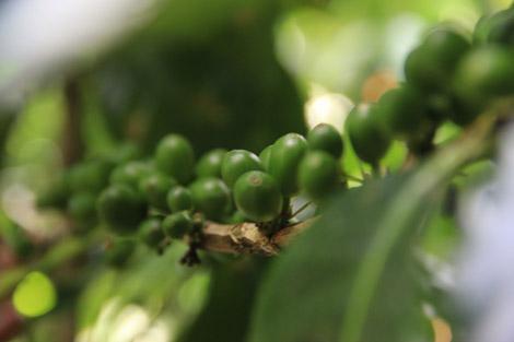 Graines de café pas encore mûres