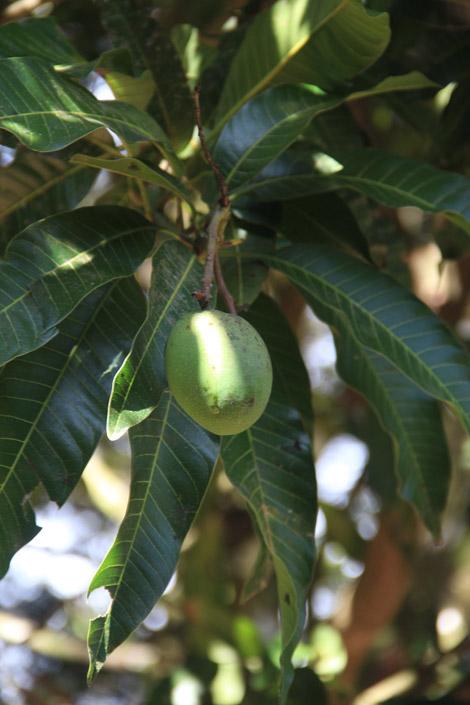 Mangue du Costa Rica