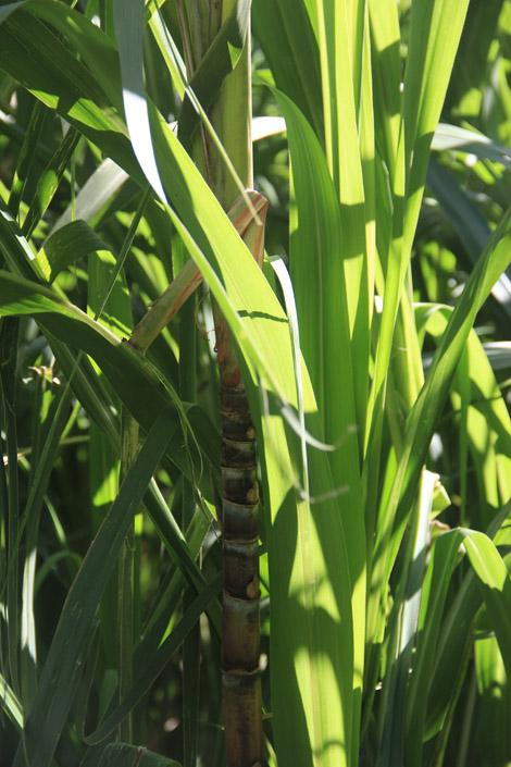 Plantation de canne à sucre.