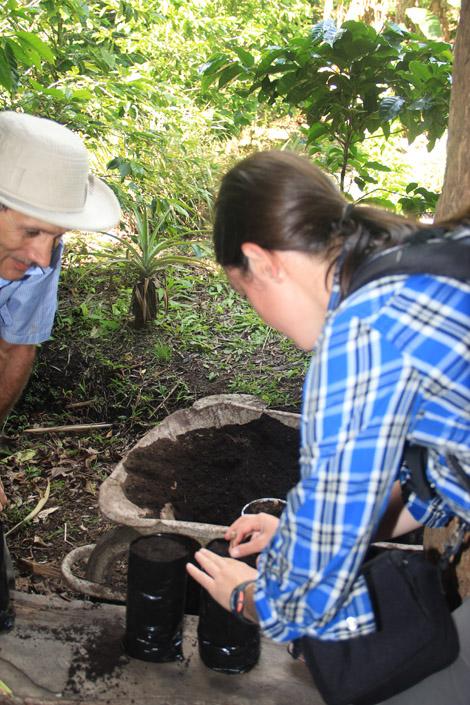 Plantation d'une jeune pousse de caféier