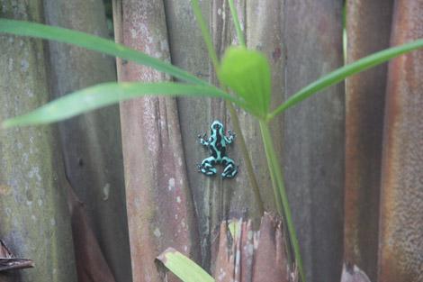 Dans le jardin tropical : des grenouilles bleues!!!