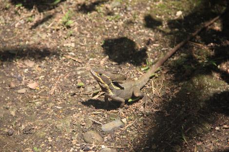 Dans le jardin tropical : des basilics