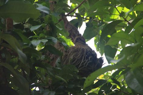 Dans le jardin tropical : un paresseux!