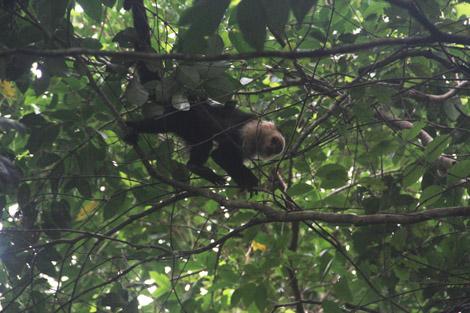Ses singes (ici Capucins, mais il y a aussi hurleurs)