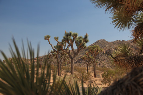 Yuccas & Josué