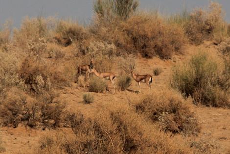Gazelles dans le désert