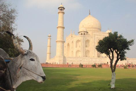Vache et Taj